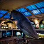 Blue whale natural history museum