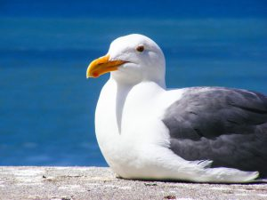 seagull fat
