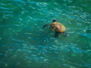 Sea Turtle Waikiki
