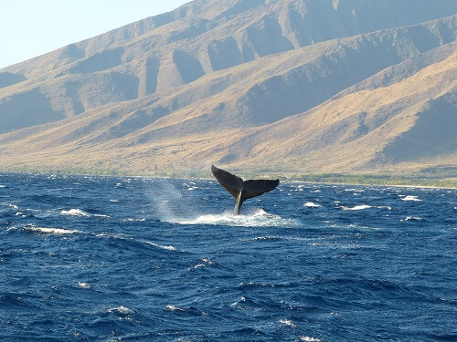 Whale Watching on Maui