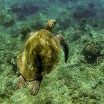 Honolua bay Turtle
