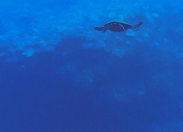 Sea Turtle Diving Maui