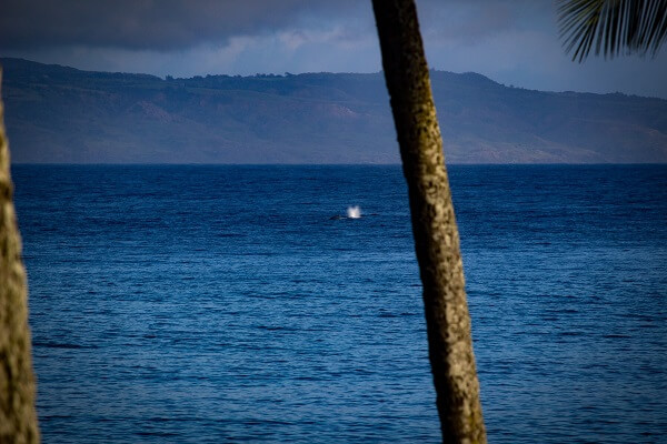 Humpback Whale from Lanai