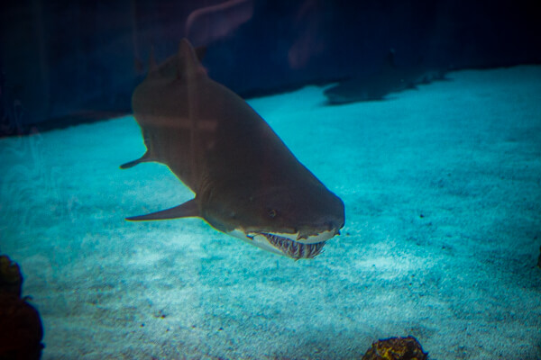 Aquarium of the Pacific Sandbar Shark