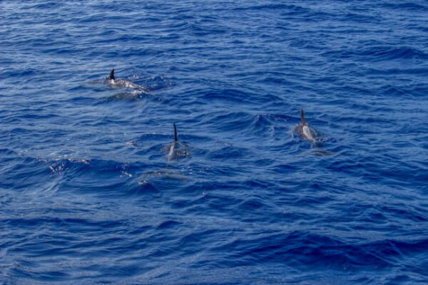 Four Winds II Dolphins