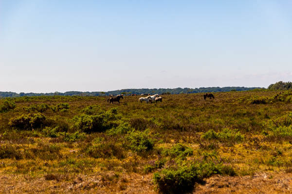 New forest ponies 2