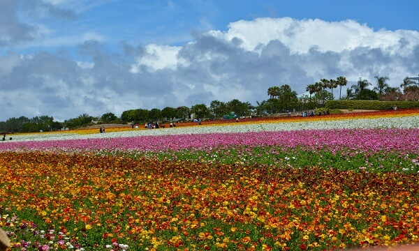 Flower Fields of Carlsbad Ranch