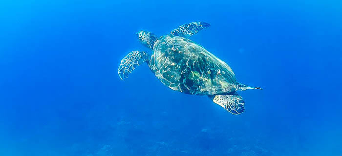 Honolua Turtle