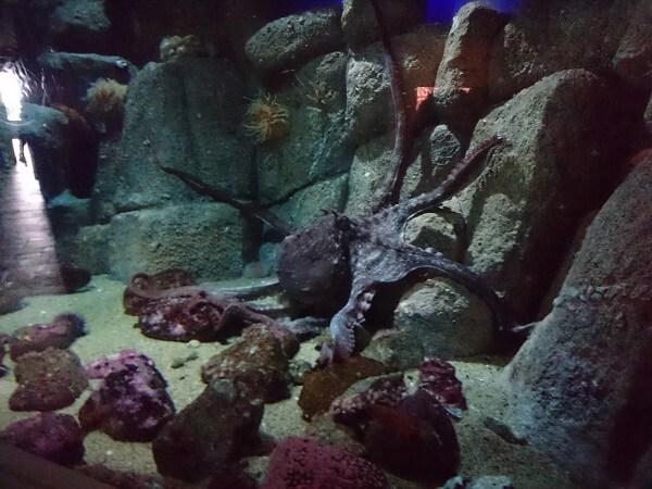 Monterey Bay Aquarium Giant Pacific Octopus