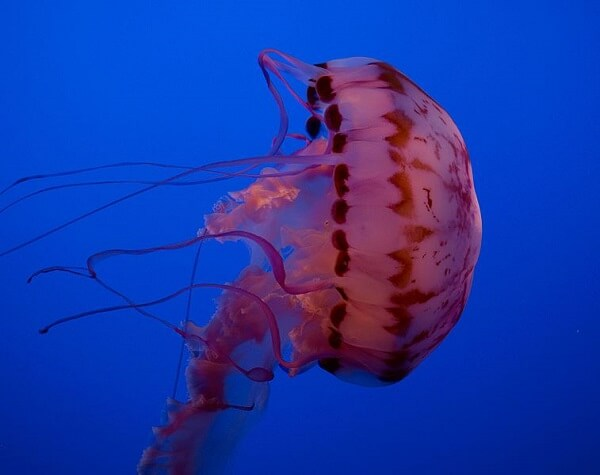 Monterey Bay Aquarium Purple striped jelly