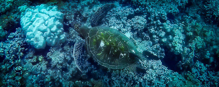 Oahu Turtle