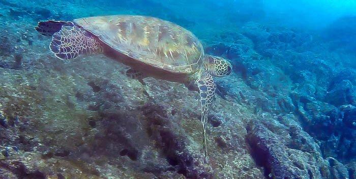 Napili Turtle