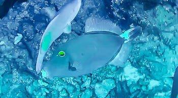 Yelloweye filefish