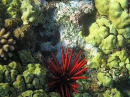 Red Pencil Urchins