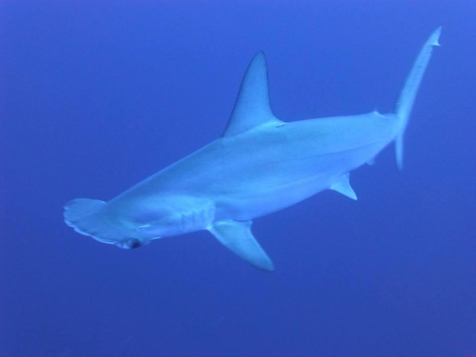 Hammerhead Shark Molokai