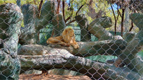 Secret Garden Lion