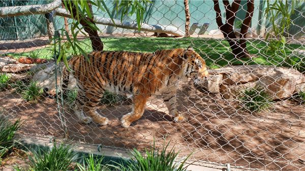 Secret Garden Tiger