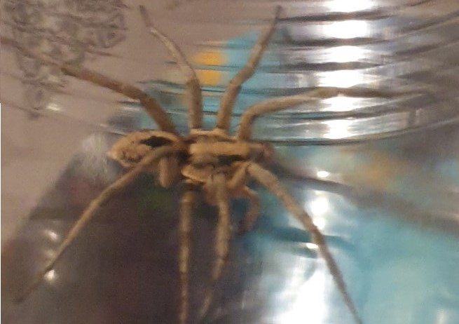 Large Wolf Spider