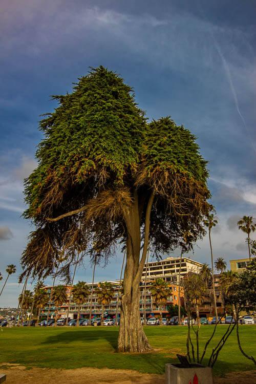 LA Jolla Lorax Tree RIP