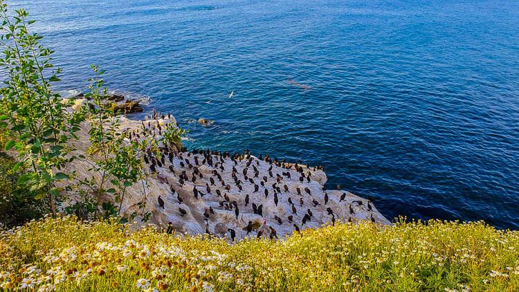 LA Jolla Sea Birds