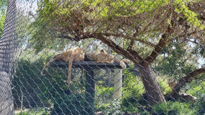 San Diego Zoo Lions