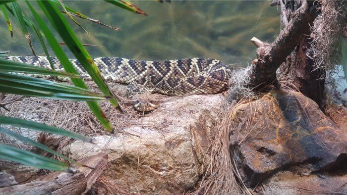 San Diego Zoo Rattle Snake