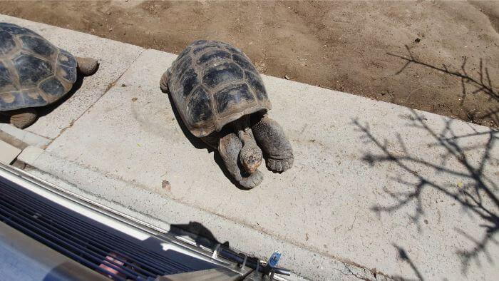 San Diego Zoo Giant Tortoise
