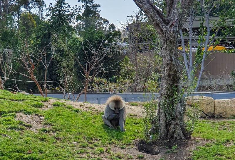 San Diego Zoo Baboon