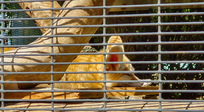 San Diego Zoo African Fox