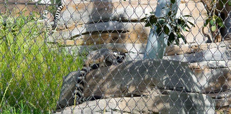 San Diego Zoo Lemur