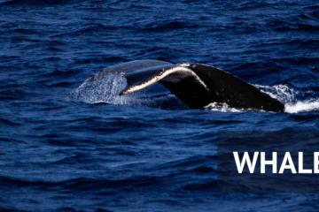 When Is Whale Watching Season On Maui, Hawaii