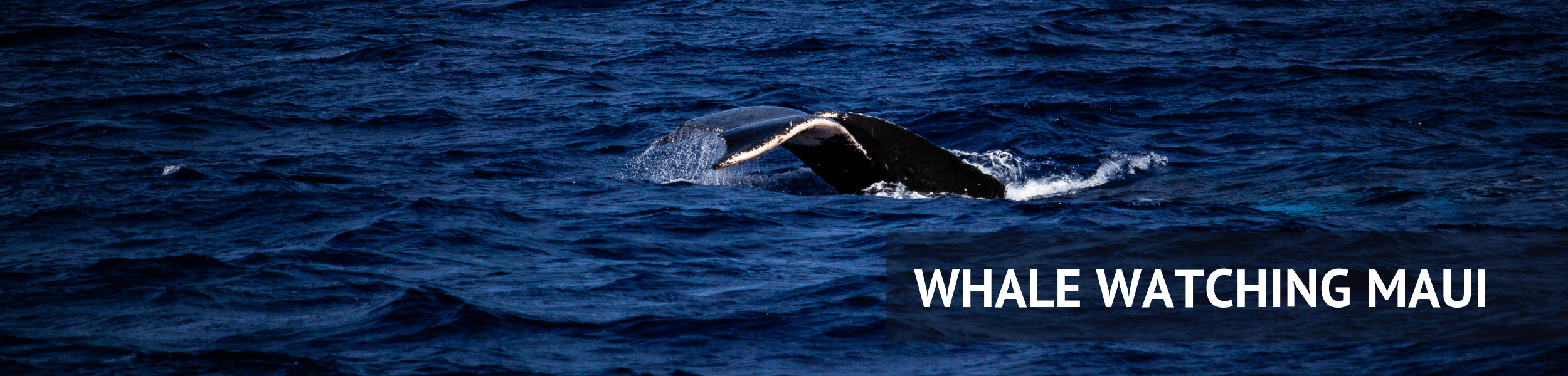 When Is Whale Watching Season On Maui, Hawaii