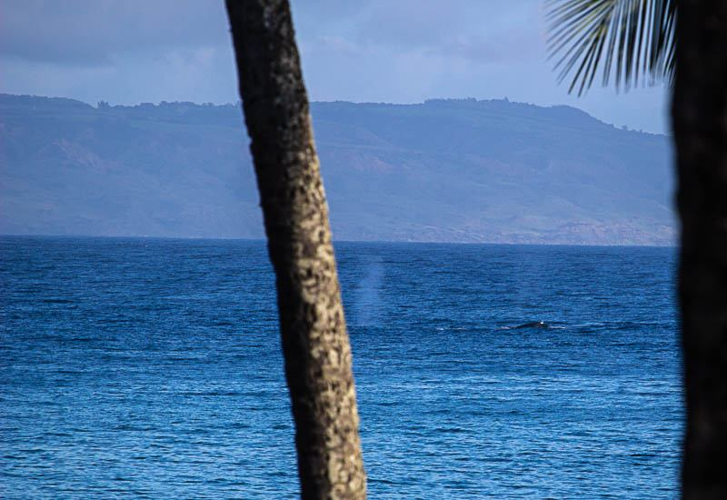 Humpback from Shore Napili