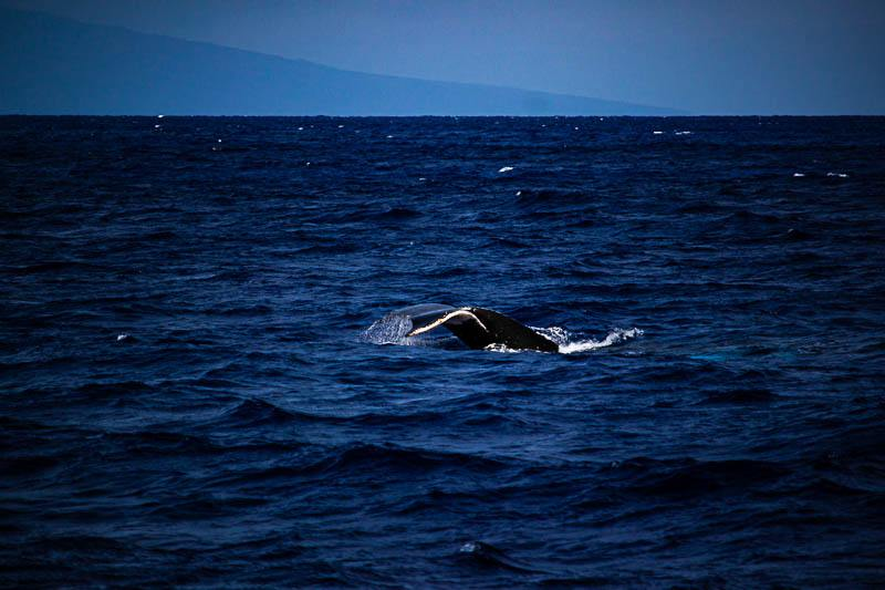 Humpback Maui Whale Watching