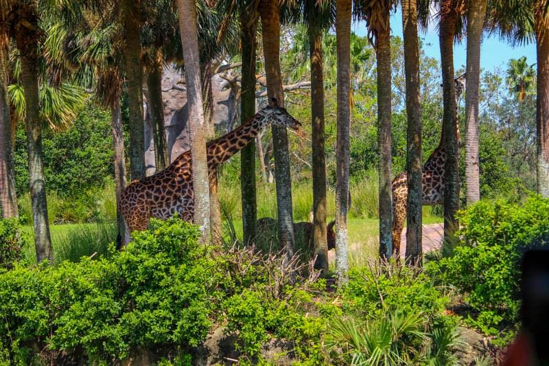 Kilimanjaro Safari Animal Kingdom