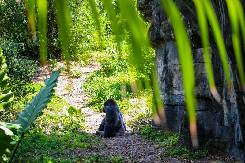 Gorilla Falls Animal Kingdom