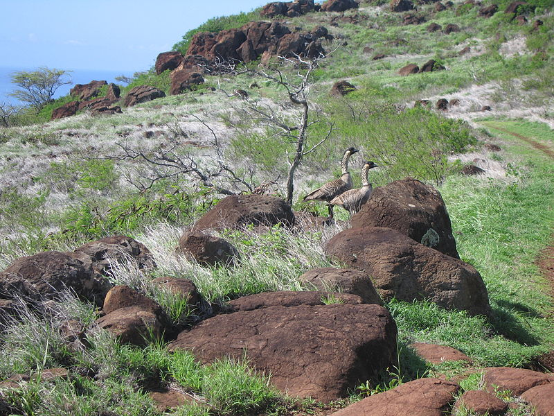Nene on the pali Trail