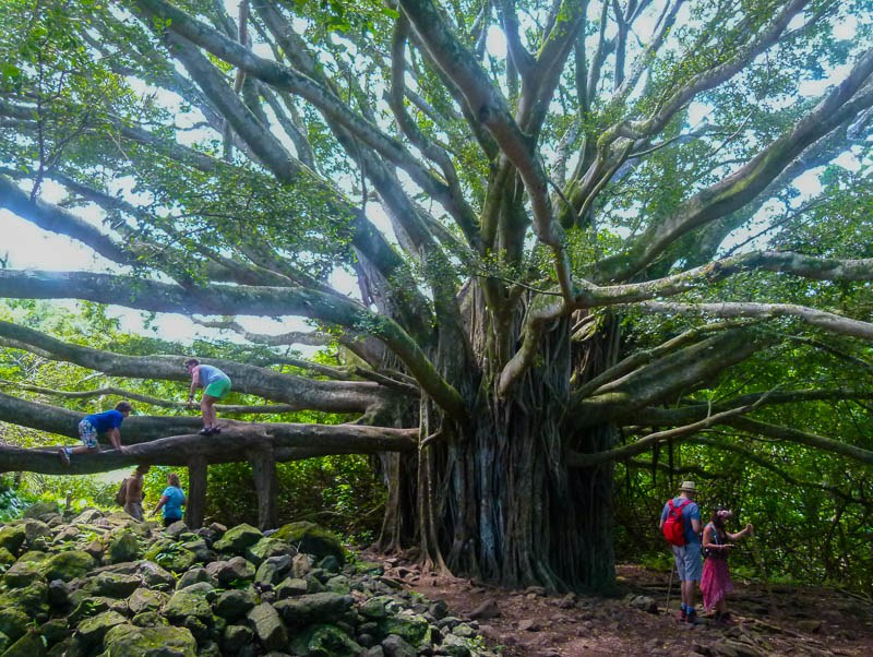 Banyan Tree Maui