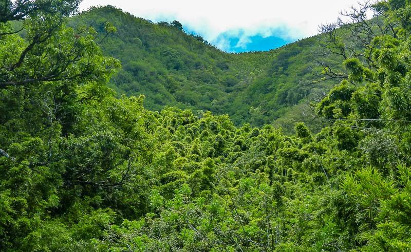 Bamboo Forest Pipiwai