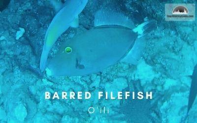 Barred_Filefish