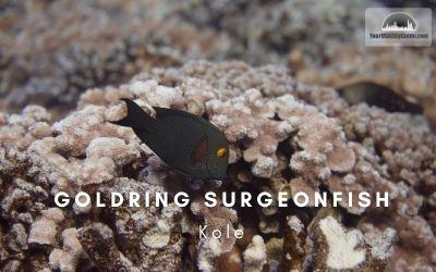Goldring_Surgeon