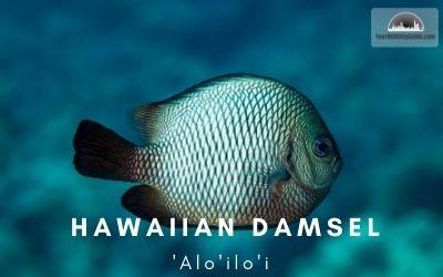 Hawaiian Damsel