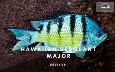 Hawaiian Sergeant Major