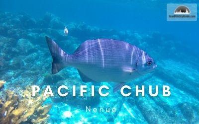 Pacific Chub