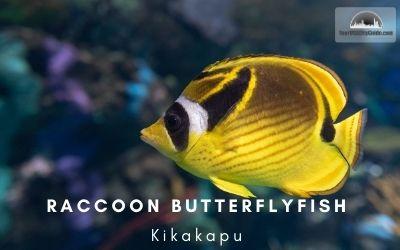 Raccoon Butterfly Fish