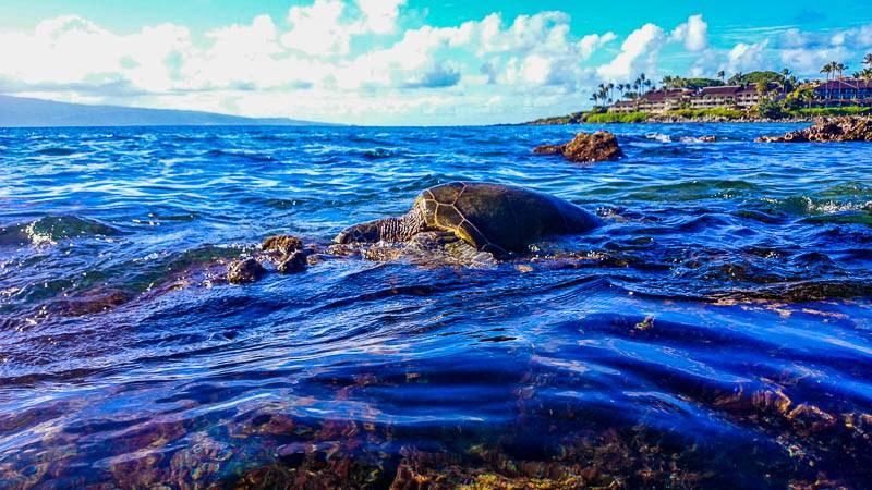 Napili Bay Turtle