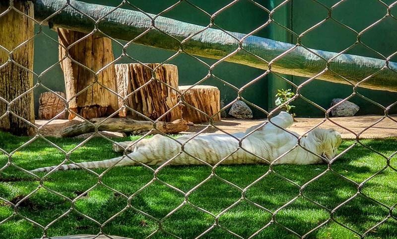 Secret Garden White Tiger