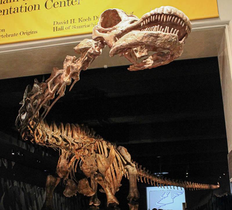 American Museum of Natural History Titanosaur