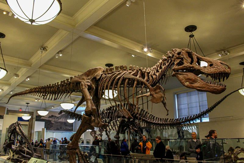 American Museum of Natural History Tyrannosaur